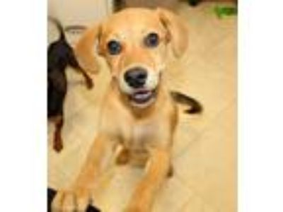 Adopt Violet a Tan/Yellow/Fawn Labrador Retriever / Border Terrier / Mixed dog