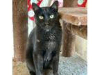 Adopt Midnight (I'm a Tri-pod!) a All Black Domestic Shorthair cat in