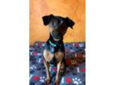 Adopt Duke a Miniature Pinscher