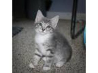 Adopt Ash a Gray or Blue (Mostly) Domestic Mediumhair / Mixed (medium coat) cat