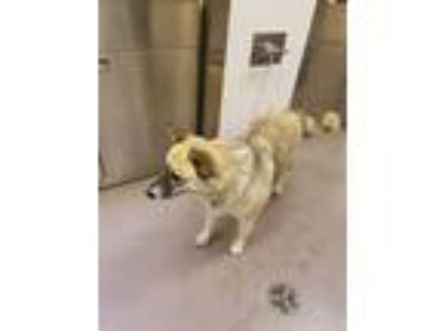 Adopt Scout a Siberian Husky / Mixed dog in Norman, OK (25883634)