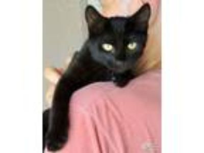 Adopt Alien a Domestic Short Hair