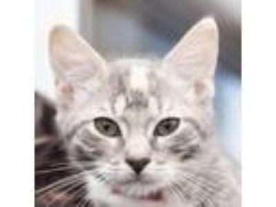 Adopt Lilieta a Gray or Blue Domestic Shorthair cat in Middletown, RI (25832619)