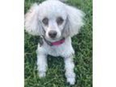 Adopt KASHA a White Poodle (Miniature) / Mixed dog in Melbourne, FL (25459152)