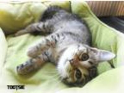 Adopt TOOTSIE a Brown Tabby Domestic Shorthair (short coat) cat in Macon