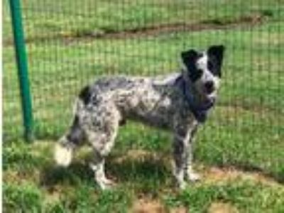 Adopt CHIP a White - with Black Cattle Dog / Mixed dog in Pilot Point