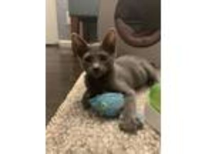 Adopt Spock a Russian Blue, Domestic Short Hair