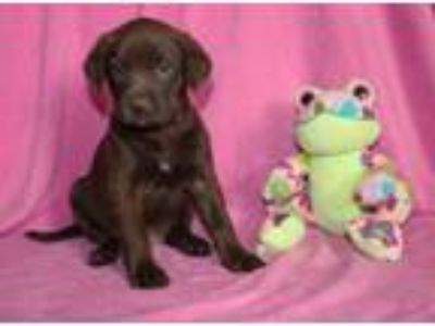 Adopt Pam a Brown/Chocolate Labrador Retriever / Mixed dog in Greenwich