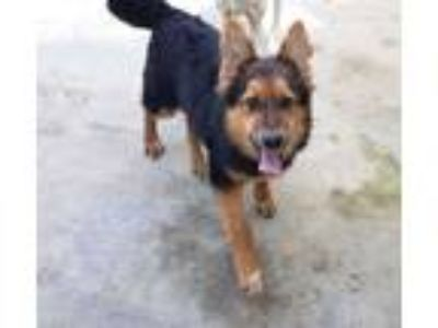 Adopt Kira a German Shepherd Dog, Shetland Sheepdog / Sheltie