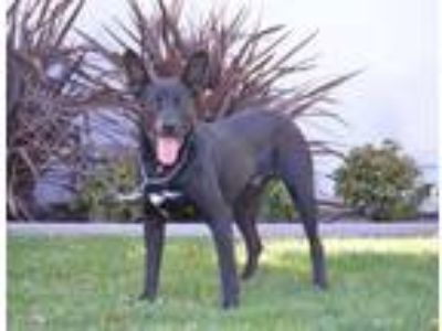 Adopt Fargo a German Shepherd Dog, Black Labrador Retriever