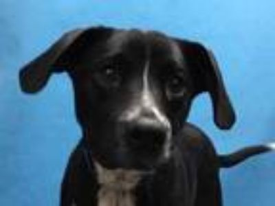 Adopt Nick a Black Labrador Retriever / Mixed dog in Golden Valley