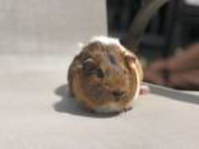 Adopt Winnie a Brown or Chocolate Guinea Pig (medium coat) small animal in