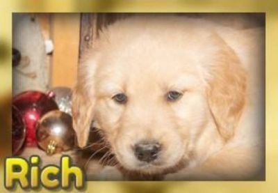 Rich Male Golden Retriever