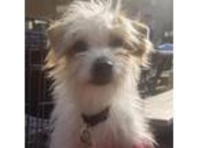 Adopt Zaley a Poodle, Jack Russell Terrier