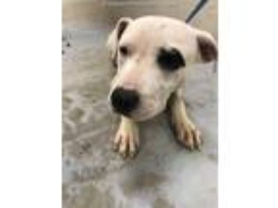 Adopt a Brindle American Pit Bull Terrier / Mixed dog in Conroe, TX (25476912)