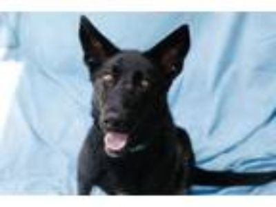 Adopt CALLIE a German Shepherd Dog, Labrador Retriever