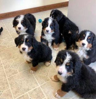 (Rehome) (Male and Female) (Bernese mt Puppies)