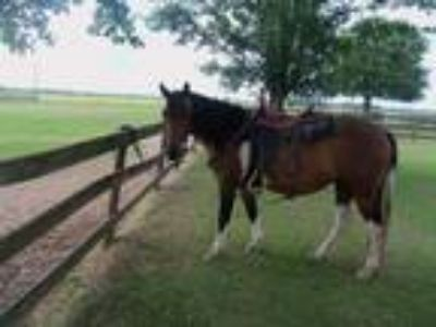 Bay and White Paint Mare Good Riding Horse