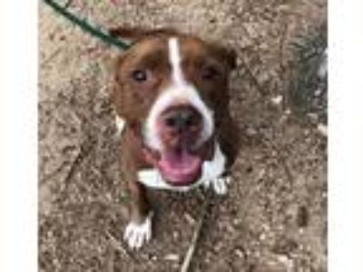 Adopt Peanut a Brown/Chocolate - with White Pit Bull Terrier / Staffordshire
