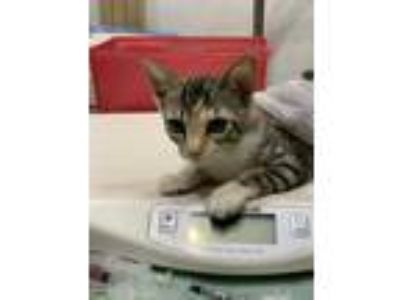 Adopt NEVAEH a White Domestic Shorthair / Domestic Shorthair / Mixed cat in St.