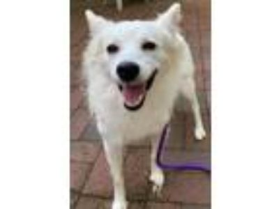 Adopt Pearl a White American Eskimo Dog / Mixed dog in Whitehall, PA (25646795)