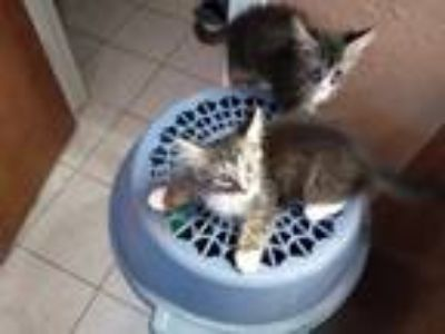 Adopt Baby kitty a Gray or Blue (Mostly) American Shorthair / Mixed cat in