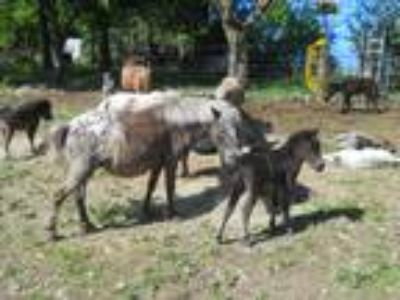 Appaloosa Miniature Mare