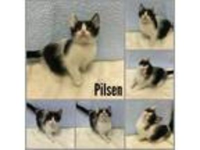Adopt Pilsen a Domestic Short Hair