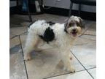Adopt Andre a Poodle