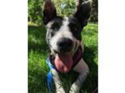 Adopt Blanch a White - with Black Border Collie dog in Denver, CO (25933336)