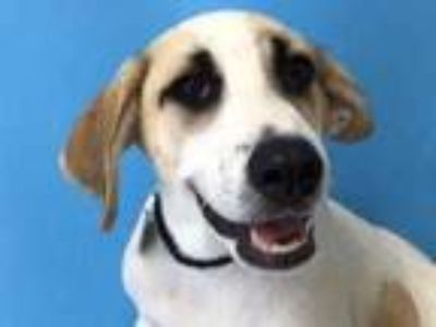 Adopt Papaya a White Hound (Unknown Type) / Mixed dog in St. Paul, MN (25872388)