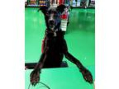 Adopt Luna a Black Labrador Retriever / Mixed dog in Brentwood, MO (24548550)