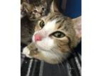 Adopt 41714832 a Domestic Short Hair