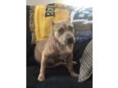 Adopt Mia a Pit Bull Terrier, American Staffordshire Terrier