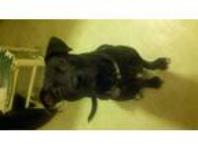 Adopt Lucy a Black American Pit Bull Terrier / Labrador Retriever / Mixed dog in