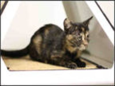 Adopt a Tortoiseshell Domestic Shorthair / Mixed (short coat) cat in Plano