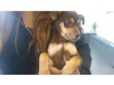 Adopt Mars the sweet puppy a Brown/Chocolate - with Tan Miniature Pinscher /