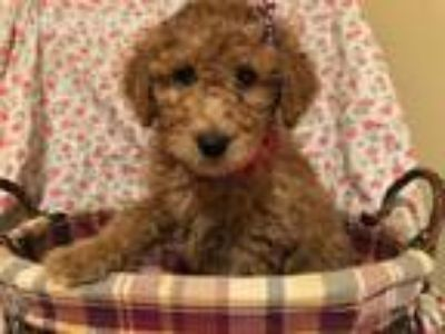 Puppy - Plymouth Classifieds - Claz org