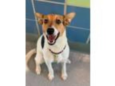 Adopt Fido a Parson Russell Terrier, Mixed Breed