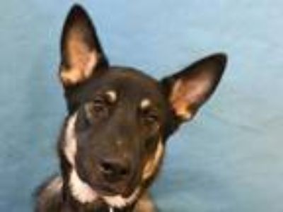 Adopt Gotham a Black Shepherd (Unknown Type) / Mixed dog in Golden Valley