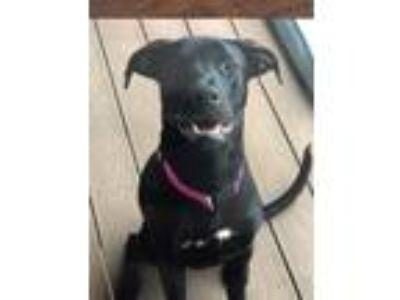 Adopt Sonny a Black Labrador Retriever dog in Olive Branch, MS (25351360)