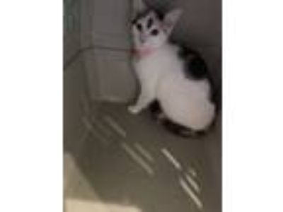 Adopt Marquita a Calico or Dilute Calico American Shorthair cat in Richmond