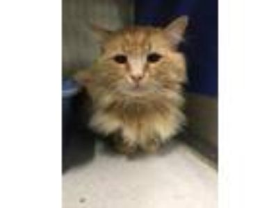 Adopt Frank a Orange or Red Domestic Longhair / Domestic Shorthair / Mixed cat