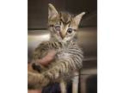 Adopt Picatso a Brown Tabby Domestic Shorthair / Domestic Shorthair / Mixed cat