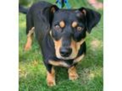 Adopt Hemi a Dachshund, Mixed Breed