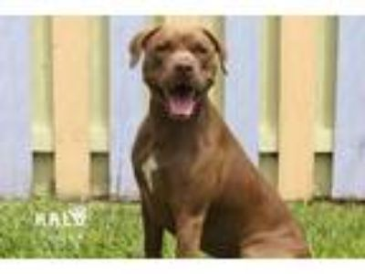 Adopt Coco a Pit Bull Terrier / Labrador Retriever / Mixed dog in Sebastian