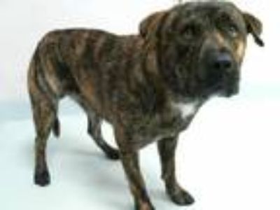 Adopt a Brindle American Pit Bull Terrier / Mixed dog in Pasadena, TX (25555429)