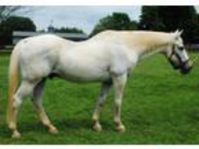 Adopt Bruno a Gray Quarterhorse horse in Lovettsville, VA (14539627)