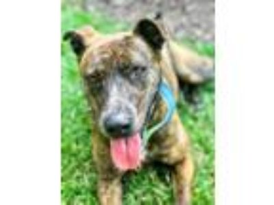 Adopt Lottie a Brindle - with White Plott Hound / Pit Bull Terrier / Mixed dog