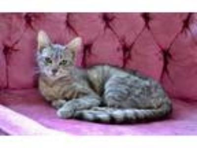 Adopt Skittles a Gray or Blue American Shorthair / Mixed (short coat) cat in